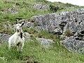 Goat at Cheddar Gorge.jpg