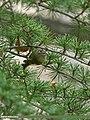 Goldcrest (Regulus regulus) (23636376480).jpg