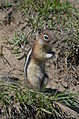 Golden-Mantled Ground Squirrel in Banff.JPG