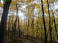 Golden-maple-trees-fall - West Virginia - ForestWander.jpg