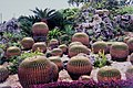 Golden Barrel 金琥仙人掌 Echinocactus grusonii Hildm - panoramio.jpg