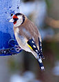 Goldfinch 1 (4256595414).jpg