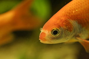 Common goldfish - Goldfish with white spots on gill covers