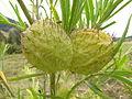 Gomphocarpus physocarpus fruit2 (14439922767).jpg