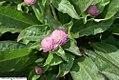 Gomphrena Gnome Pink 0zz.jpg