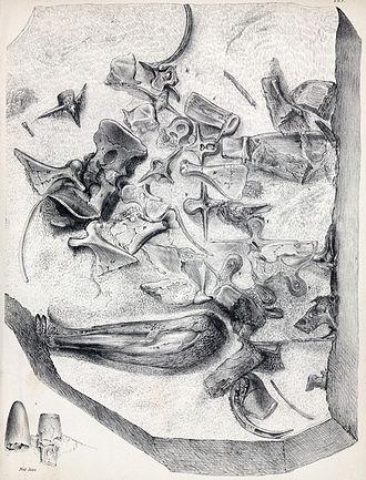 Goniopholis - G. crassidens holotype BMNH 3798