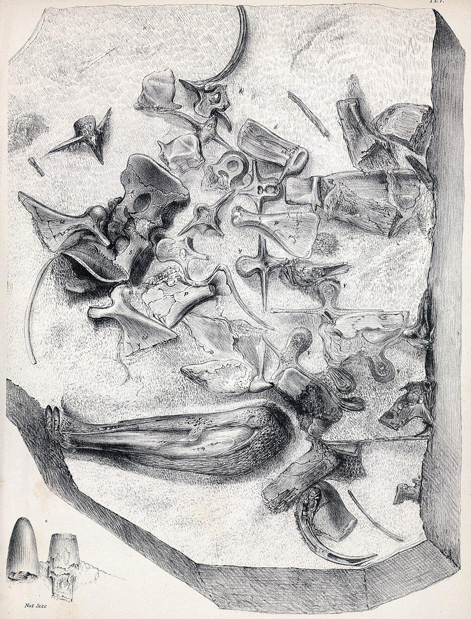 Goniopholis crassidens