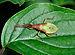 Gonocerus acuteangulatus qtl1.jpg