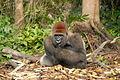 Gorilla gorilla07.jpg