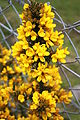 Gorse, Ballymagorry, May 2010.JPG