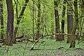 Grąd niski reerwat przyrody Las Bielański 2017.jpg
