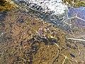 Granota entre el Prat Fondal i l'estany Mal P1300528.jpg