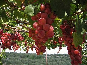 Grapes from Lebanon