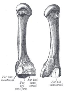 Third metatarsal bone
