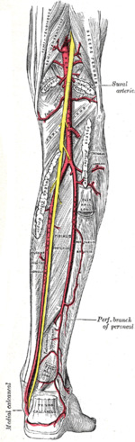 Schema artere poplitee