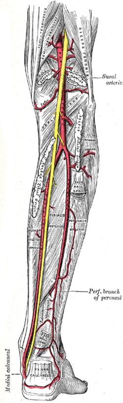 Sural arteries - Wikipedia