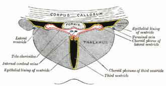 Choroid plexus - Coronal section of lateral and third ventricles.