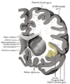 Gray743 insular cortex.png