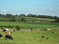 Grazing cattle - geograph.org.uk - 242894.jpg