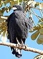 Great Black Hawk (Buteogallus urubitinga), Poconé, Mato Grosso.jpg