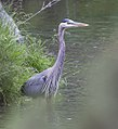 Great Blue Heron on the Chimney Rock segment of the Crooked Wild and Scenic River (27896461170).jpg