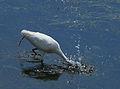 Great Egret (17314704890).jpg