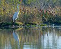 Great Egret (5179507776).jpg