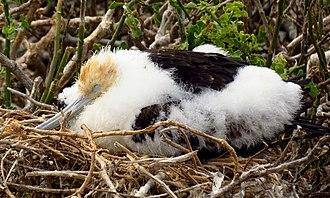 Great frigatebird - Chick, Genovesa Island, Ecuador