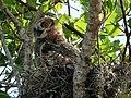 Great Horned Owl- Immature, NPSPhoto, Chris Reiss (5622601642).jpg