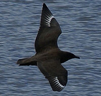 Great Skua 20080821.jpg