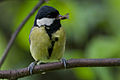 Great Tit Lodz(Poland)(js)20.jpg
