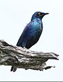 Greater Blue-eared Starling, Lamprotornis chalybaeus, at Chobe National Park, Botswana (32174934432).jpg