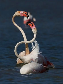 Greater Flamingo TN.jpg