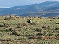 Greater Sage-Grouse in Oregon (14163969756).jpg