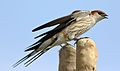 Greater Striped Swallow, Hirundo cucullata (syn. Cecropis cucullata), at Marievale Nature Reserve, Gauteng, South Africa (30390216252).jpg