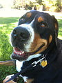 Greater Swiss Mountain Dog - Face.jpg