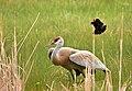 Greater sandhill crane on Seedskadee National Wildlife Refuge (34830119245).jpg