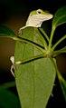 Green Anole 2 (41903884).jpg