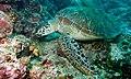 Green Turtle (Chelonia mydas) (6083206500).jpg