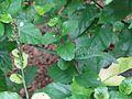Green Vine Snake-Ahaetulla nasuta.jpg