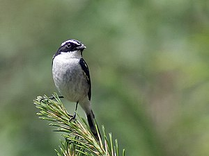Grey bush chat - Image: Grey Bushchat (Male) Himachal I IMG 3193