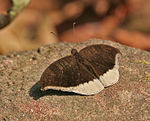 Grey Count (Tanaecia lepidea) at Samsing, Duars, West Bengal W IMG 6109.jpg