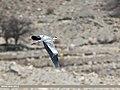 Grey Heron (Ardea cinerea) (34005367725).jpg