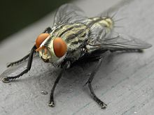 Grey Striped Fly (Sarcophaga aurifrons).JPG