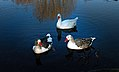 Greylag Geese. (8647046711).jpg