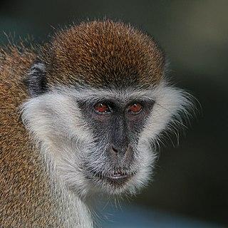Grivet Species of Old World monkey