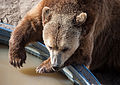 Grizzly bear at Wild Animal Sanctuary 1.jpg