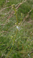 Grossenlueder Mues Kalkberge Galium Asperula Aphrophoridae.png