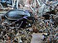 Ground Beetle (Archicarabus nemoralis pseudomonticola) (8360543771).jpg