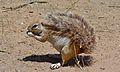 Ground Squirrel (Xerus inauris) (6492762723).jpg